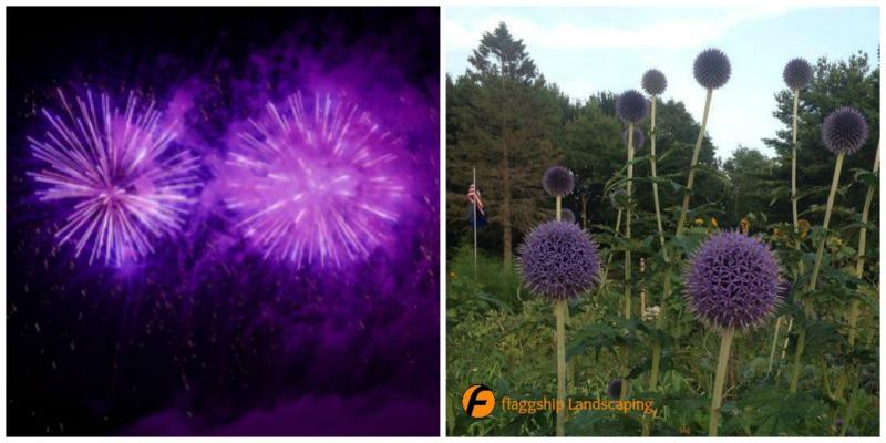Fireworks Flowers Allium