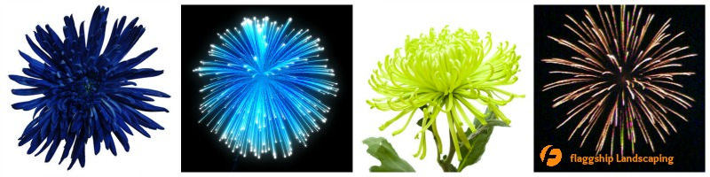 Fireworks Flowers Spider Mums
